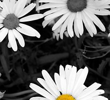 single wild irish daisy in color by morrbyte