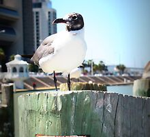 Seagull on seawall in Corpus Christi by maballew