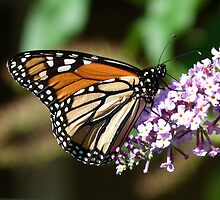 Magnificent Monarch 2 by Trish Meyer