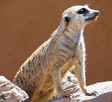 Meerkat posing in the Sun by Amy McDaniel