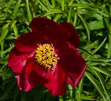 Deep Red Peony With Bright Yellow Stamens  by Georgia Mizuleva