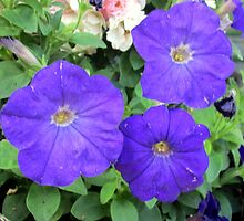 lovely coloured petunia by margaret hanks