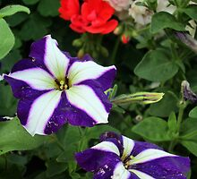 a striped petunia by margaret hanks
