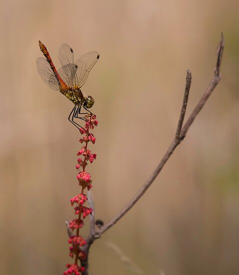 Four Spotted Chaser by Patricia Jacobs CPAGB LRPS BPE3