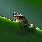 Tree frog ( Guibemantis liber Sp )  Andasibe Madagascar by john  Lenagan