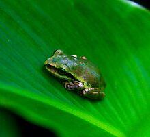 Tree frog ( Boophis tephraeomystax?  )  Anja Reserve  Madagascar by john  Lenagan