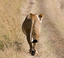 I am walking - lion by Valerija S.  Vlasov