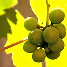 Grape in Its Leafs Shadow by ivDAnu