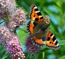 Small Tortoiseshell - Aglais urticae by Chris Monks