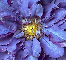 Clematis Vyvyan Pennell by Jacky Parker