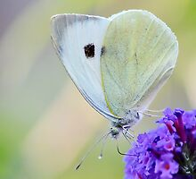 Small White by relayer51