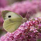 Large White (female) by John Hooton