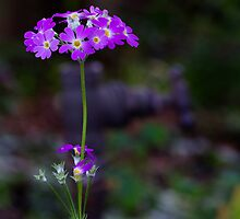 The Primula by the Tank Stand by Clare Colins