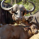 THE BUFFALO - MOTHER AND CALF - Syncerus caffer - BUFFEL by Magaret Meintjes