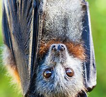 Grey-headed Flying-fox by stickeebatz