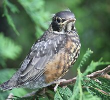 Baby Robin learning to fly by Joanne Paquette