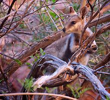 Black Footed Wallaby  by D-GaP