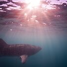 Ningaloo whale shark sunset by Stephen Colquitt