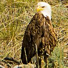 Bald Eagle on the River Bank by Yukondick