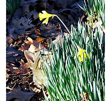 Cat In The Daffodils Photographic Print