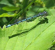 Azure Damselfly 10 by Magic-Moments