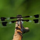 Twelve-spotted Skimmer #1 by Kane Slater