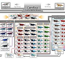 Caridina cantonensis Family Tree by rah-bop