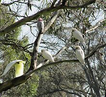 Native Birds (parrots) Mt. Pleasant. Sth. Australia. by Rita Blom