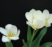 Three White Tulips by Kathleen Brant