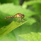 Dragonfly by Martha Medford
