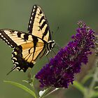 On Brian's Butterfly Bush by photodug