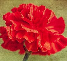 Red Carnation. by JulieCoe