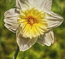 Single Daffodil by JulieCoe
