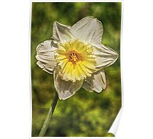 Single Daffodil Poster