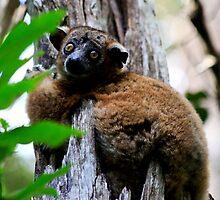 Nocturnal  Zombitse  Lemur ( Lepilemur hubbardorum) - Zombitse reserve Madagascar by john  Lenagan