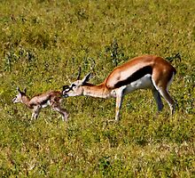 New born - Thomson's Gazelle ( Eudorcas thomsonii ) Ngorongoro Crater Tanzania by john  Lenagan