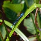Damselfly by mikebov