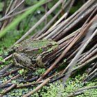 Frog in a bog ! by Jonathan Goddard
