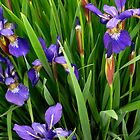 Purple Iris by Jane Jenkins