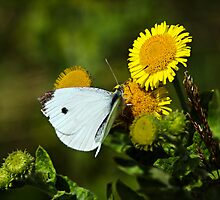 Cabbage White Butterfly by Susie Peek