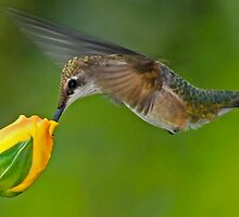 Taste of Roses - Female Ruby Throated Hummingbird by Janice Carter