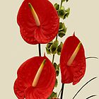 Anthurium Andraeanum by Yampimon