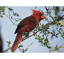 Northern Cardinal~ Male Photographic Print