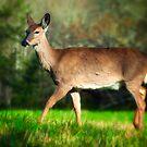 Deer by KellyHeaton