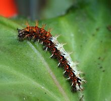 Comma Butterfly Caterpillar by AnnDixon
