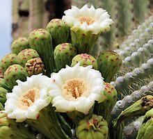 Three Open Saguaro Blooms by Kathleen Brant