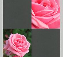 Pink Roses in Anzures 2 Blank Q6F0 by Christopher Johnson
