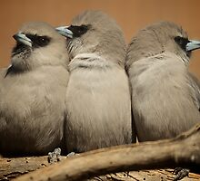 Trio of Woodswallows by D-GaP