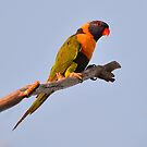 Red Collarded Lorikeet On the road into Edith Falls by Alwyn Simple