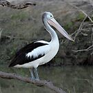 Australian Pelican on the Darling River at Bourke by Alwyn Simple